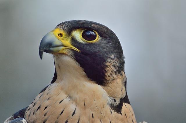 Free peregrine falcon predator raptor bird wildlife