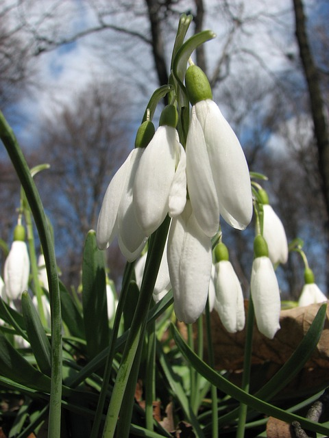 Free snowdrop spring flower spring flowers nature