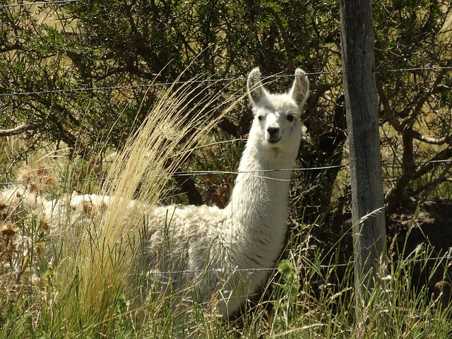 Free llama grass argentina animal nature mammal