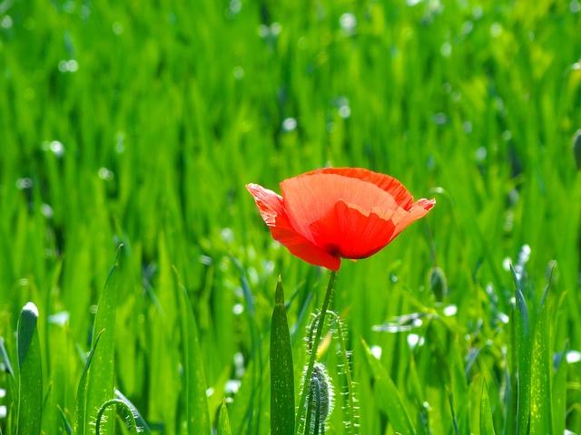 Free flower red poppy field summer plant spring