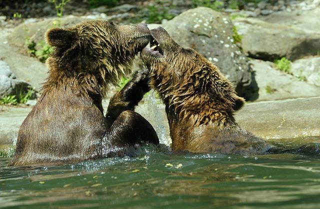Free bear brown bear ursus arctos water zoo splashing