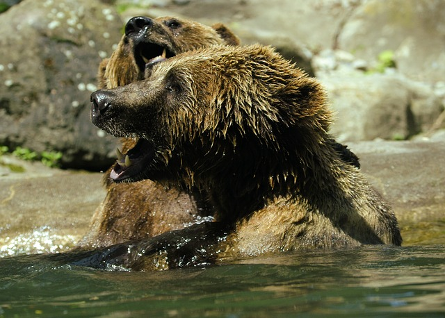 Free bear brown bear ursus arctos water zoo splashing