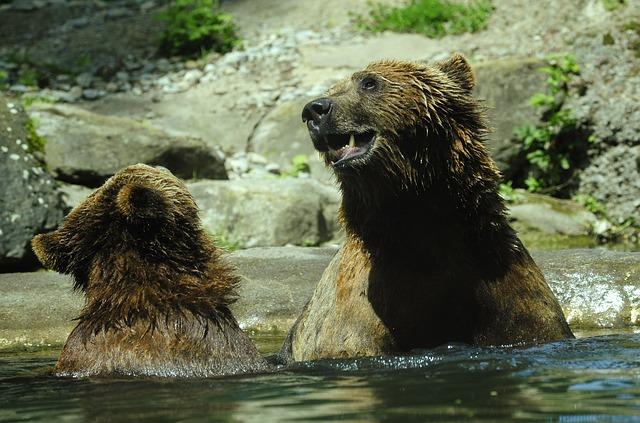 Free bear brown bear ursus arctos water splashing