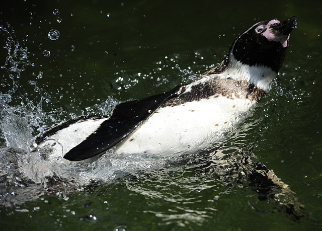 Free penguin humboldt penguin bird water bird swim