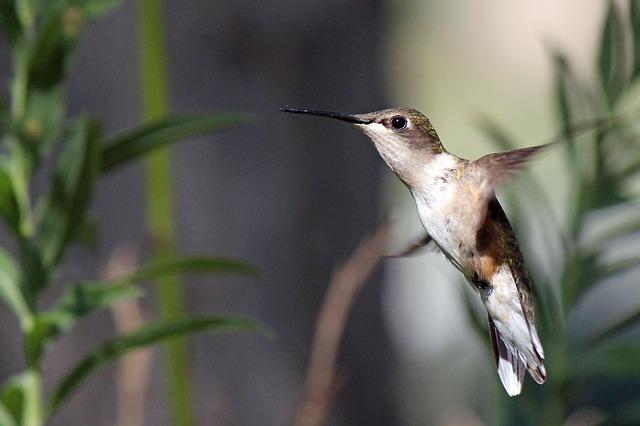 Free hummingbird bird flight