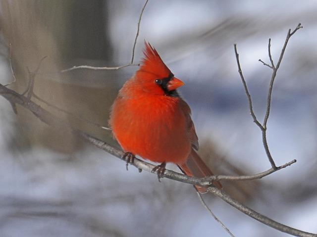 Free cardinal bird red winter branch