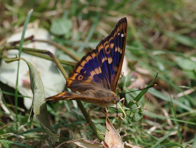 Free purple emperor butterfly lesser purple emperor