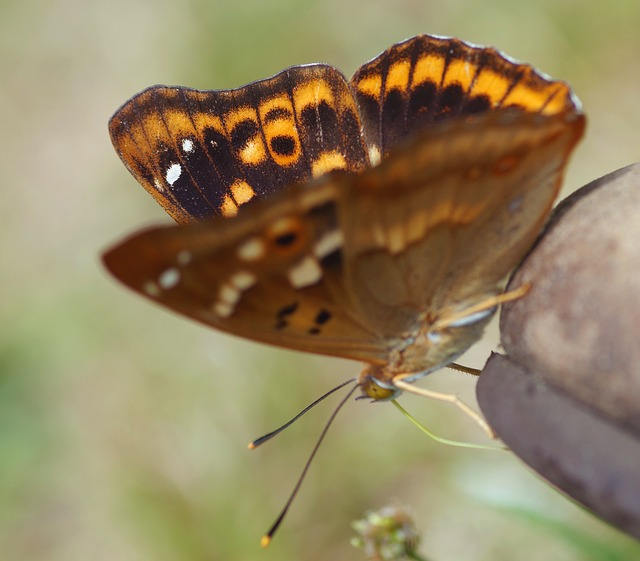 Free butterfly lesser purple emperor summer garden