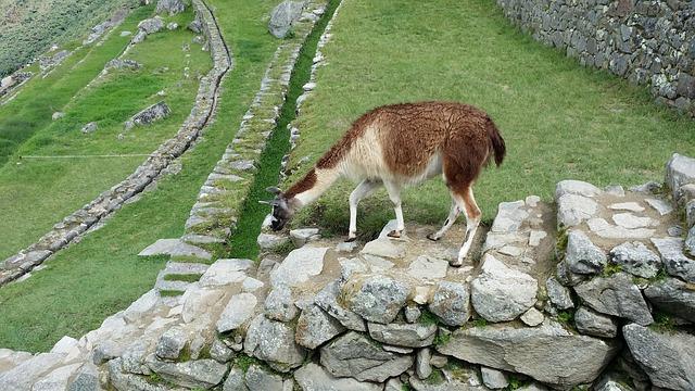 Free machu picchu's llama move stone steps loneliness