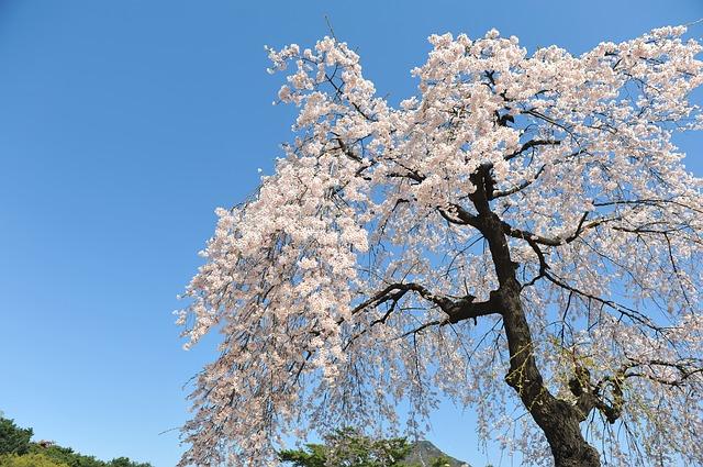 Free cherry blossom spring sky blue sky forbidden city