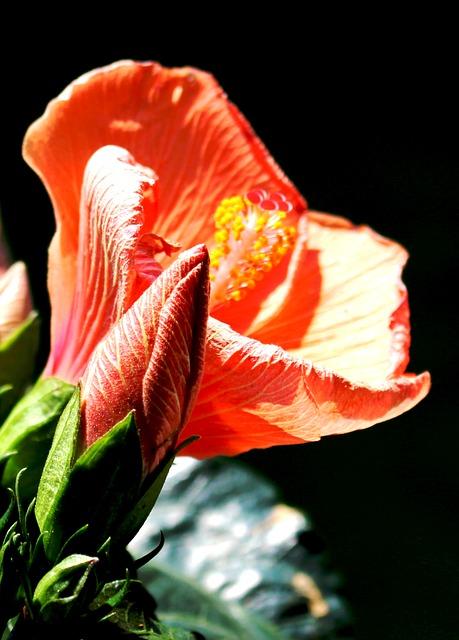 Free flower flowers hibiscus close