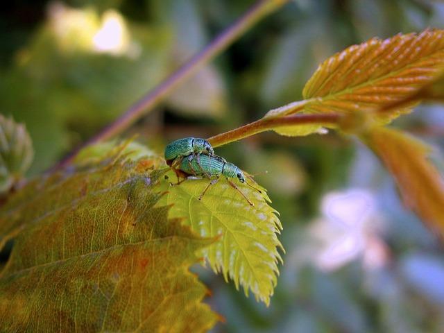 Free beetle weevils green phyllobius green rachael