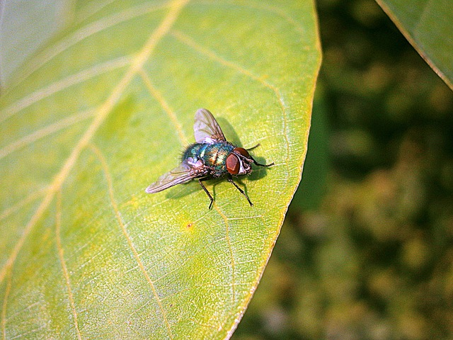 Free bluebottle fly insect calliphoridae animal diptera