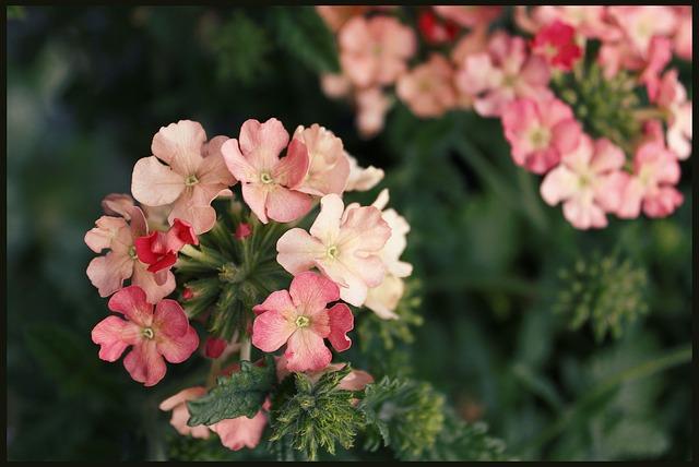 Free geranium geraniums basket flowers garden blooming