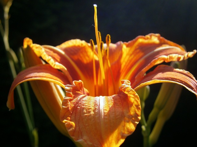 Free lily lilies lilium flower filigree lily family