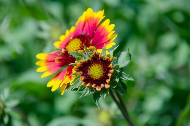 Free gaillardia flower garden flowers beautiful