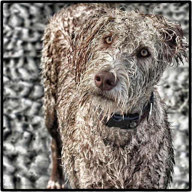 Free dog labradoodle dogluvs pet animal
