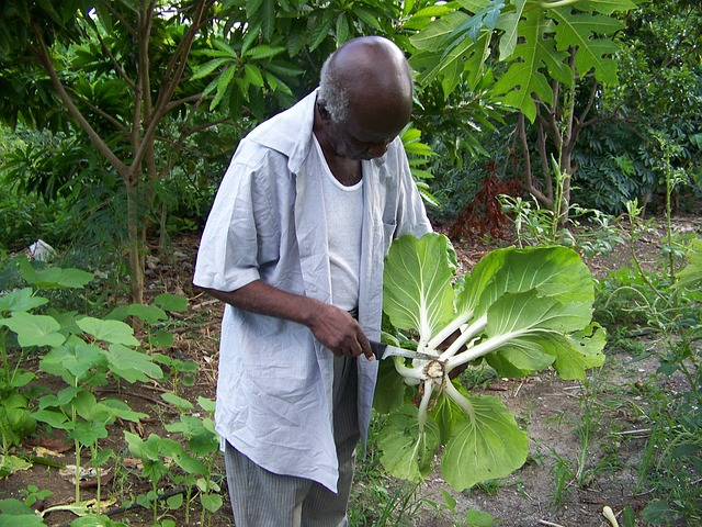 Free elderly gardener gardens plants bok choy