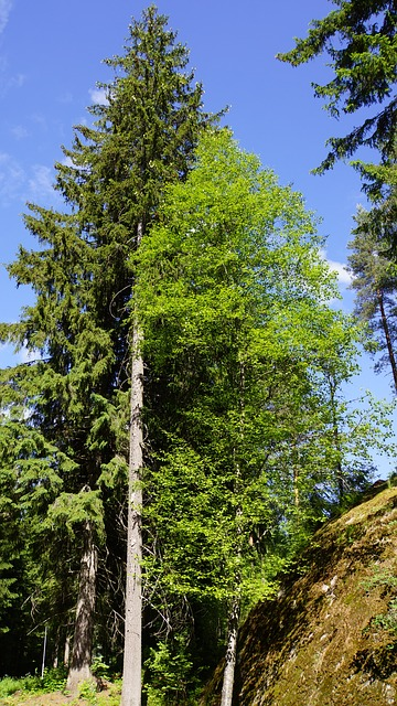 Free finland summer forest coniferous tree hardwood six