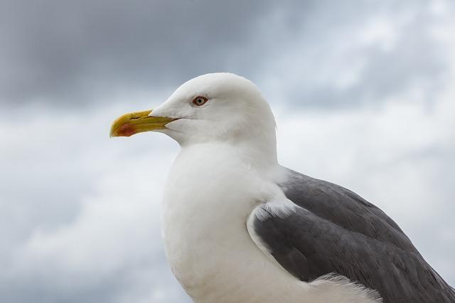 Free seagull bird bill feather creature close animal