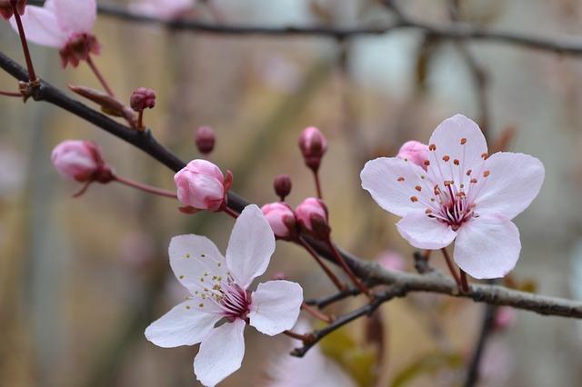 Free Photos: Flower cherry blossom spring tree garden plant | Steffi Timm