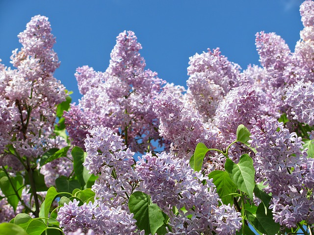 Free lilac colors blossom blossoms flower flowers