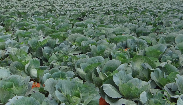 Free cabbage crop field vegetable india