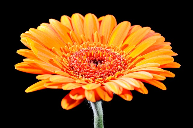 Free gerbera cut flowers flower close flowers colorful