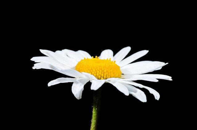 Free marguerite summer flower close flowers white
