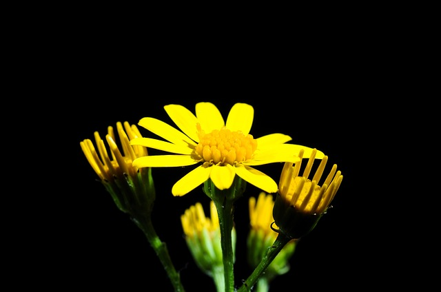 Free pointed flower flower yellow close small summer
