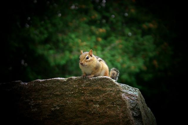 Free chipmunk nature summer closeup animal wildlife