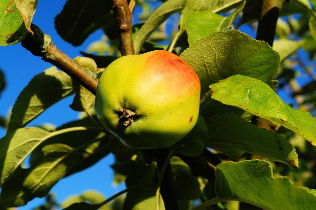 Free apple tree apple branch leaves fruit healthy