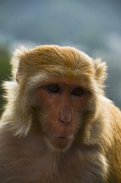Free animal monkey india nature wildlife