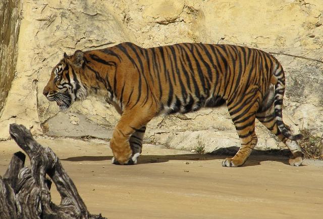 Free sumatran tiger tiger big cat carnivore mammal