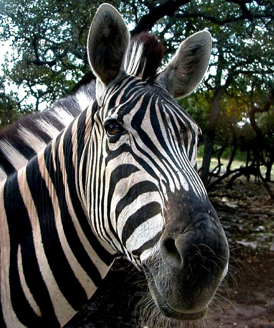 Free zebra wildlife head smiling mammal stripes wild
