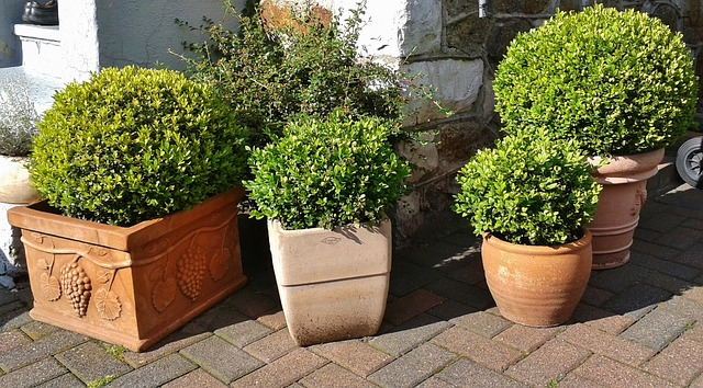 Free boxwood buxus book green buxus sempervirens