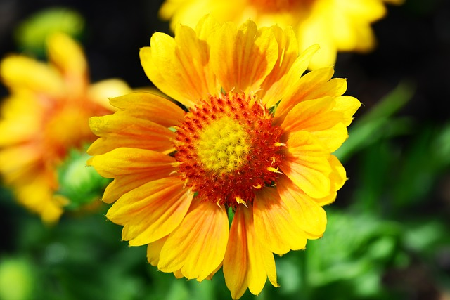 Free gaillardia blanket flower sunflower family yellow