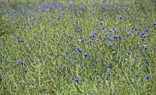 Free cornflowers field agriculture food flower meadow