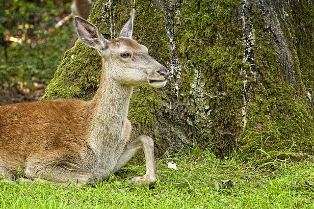 Free deer park doe animal concerns tree