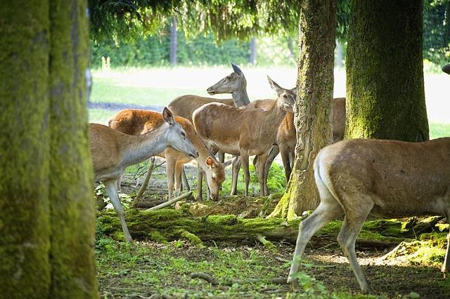 Free morning sun hinds forest deer park flock