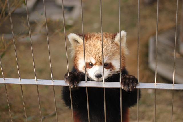 Free red panda zoo cute animals