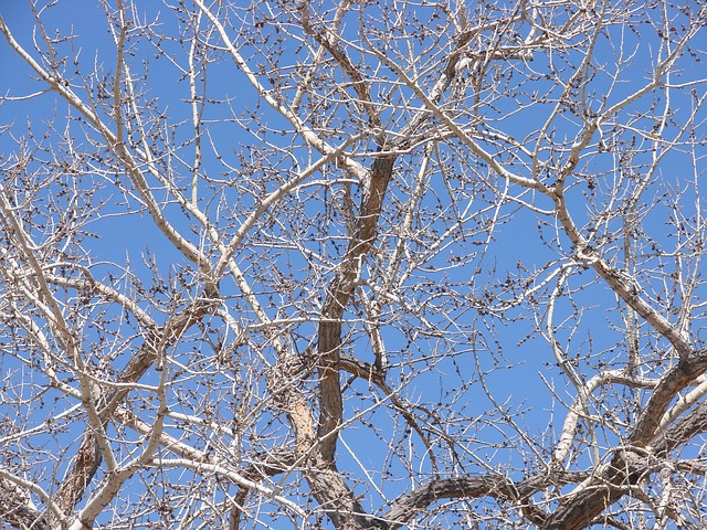 Free cottonwood tree spring branches
