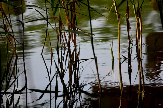 Free reed waterfront aquatic plant bog plants nature