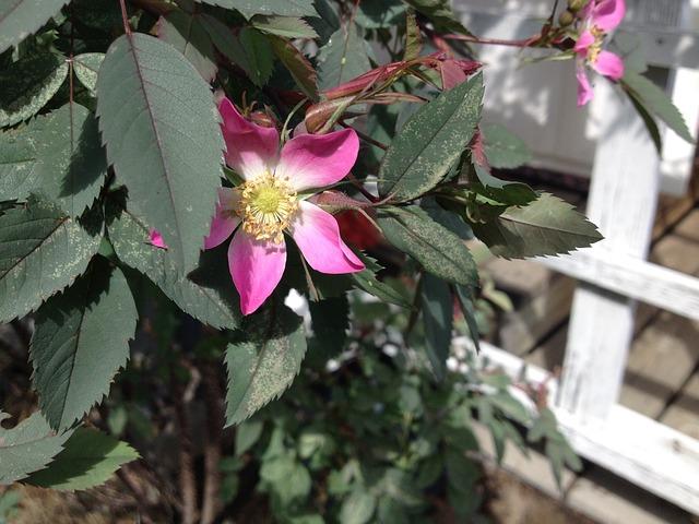 Free Photos: Flower pink garden plant ornamental plant | Henzulux