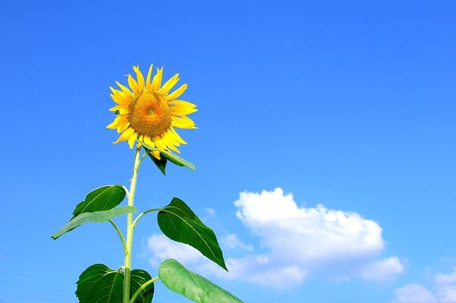 Free               summer sunflower flowers sky cloud