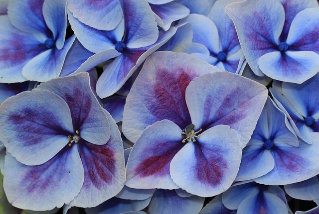 Free hydrangea hydrangea flower flower inflorescence