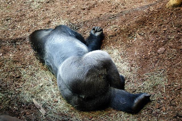 Free gorilla monkey zoo catwalk fauna animal