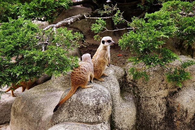 Free animals meerkats animal fauna catwalk