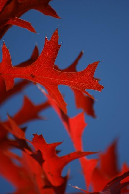 Free leaf oak red blue sky leaves fall autumn