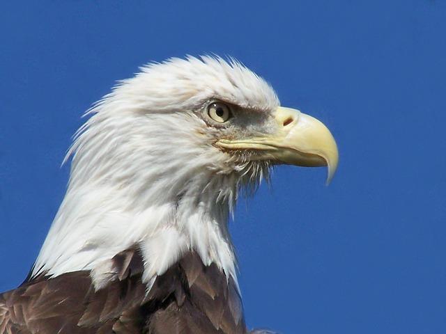 Free eagle bird animal bird of prey bald eagle eagles